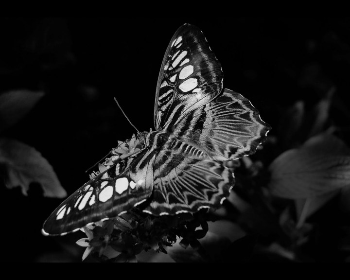 Dramatic Butterfly